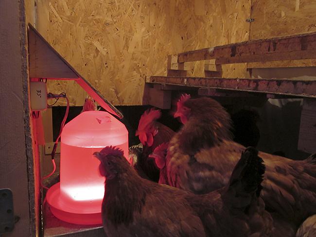 Поилка для кур может быть любой, все выбирают по своим средствам. Но каждая поилка для кур становится проблемой для фермера зимой, когда температура понижается и вода замерзает. Сделать подогрев воды для кур своими руками не составит труда!