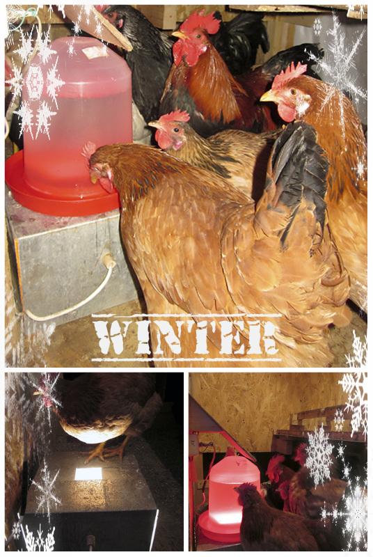 WINTER COOP Поилка для кур может быть любой, все выбирают по своим средствам. Но каждая поилка для кур становится проблемой для фермера зимой, когда температура понижается и вода замерзает. Сделать подогрев воды для кур своими руками не составит труда!