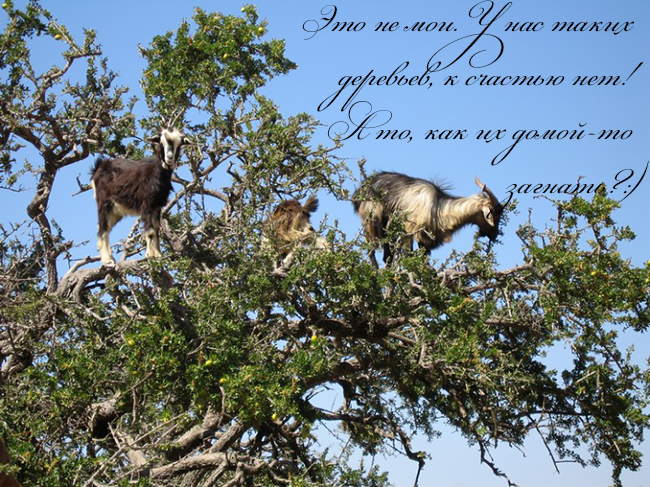 Содержание коз. Козы на дереве