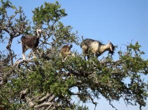 Домашняя ферма |10 причин купить козу
