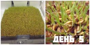 Проращивание семян день 5