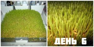 Проращивание семян день 6