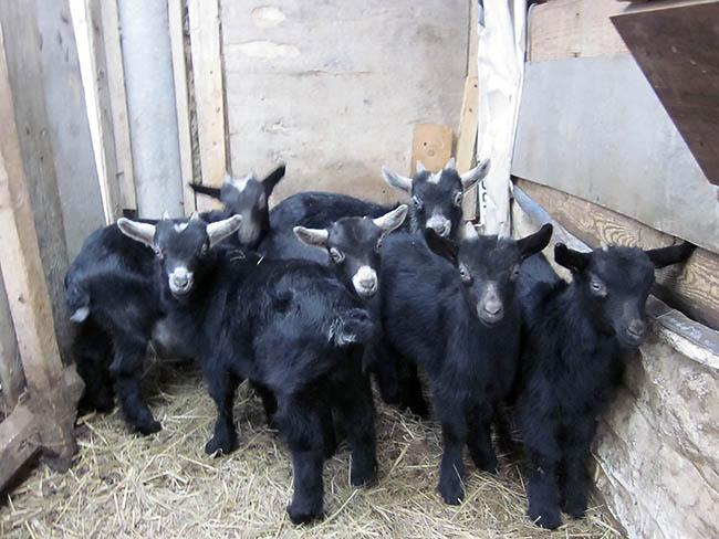 козлята от молочных коз черные У