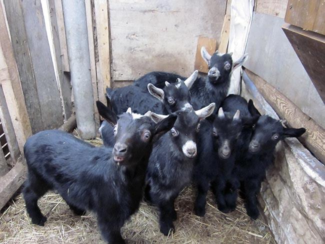 козлята от молочных коз черные 1 У