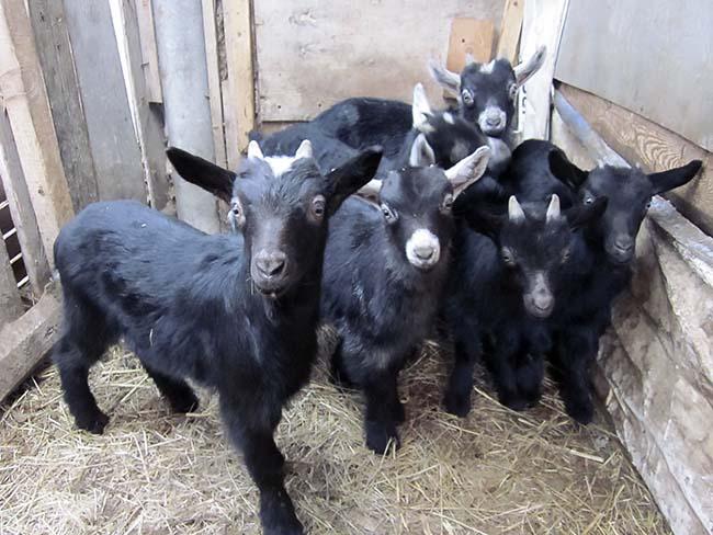 козлята от молочных коз черные 2 У
