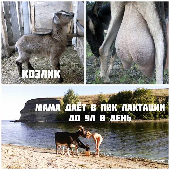 молочные высокоудойные козы Маша