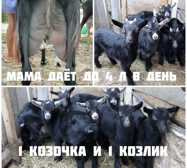 молочные высокоудойные козы Ночка у