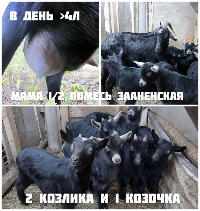 молочные высокоудойные козы звёздочка