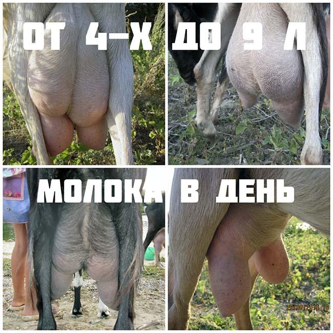 молочные высокоудойные козы
