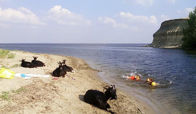 Козы на берегу Волги