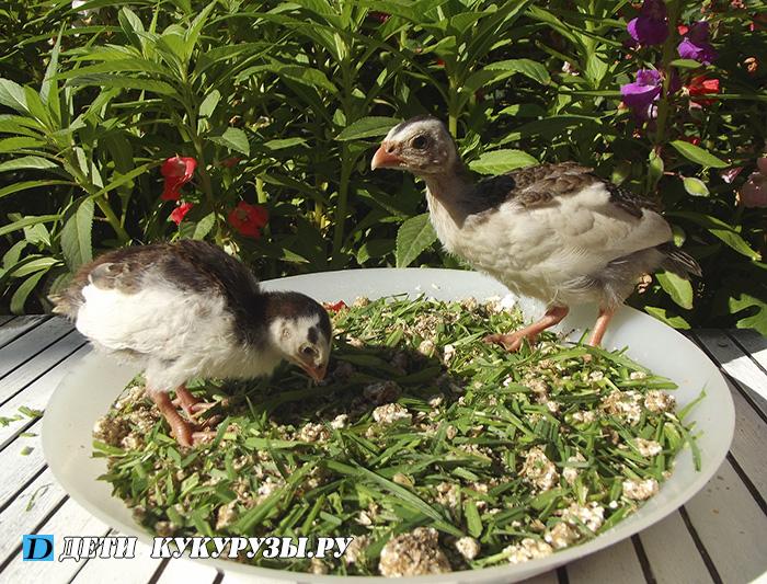 КОРМЛЕНИЕ цыплят и цесарят первого месяца