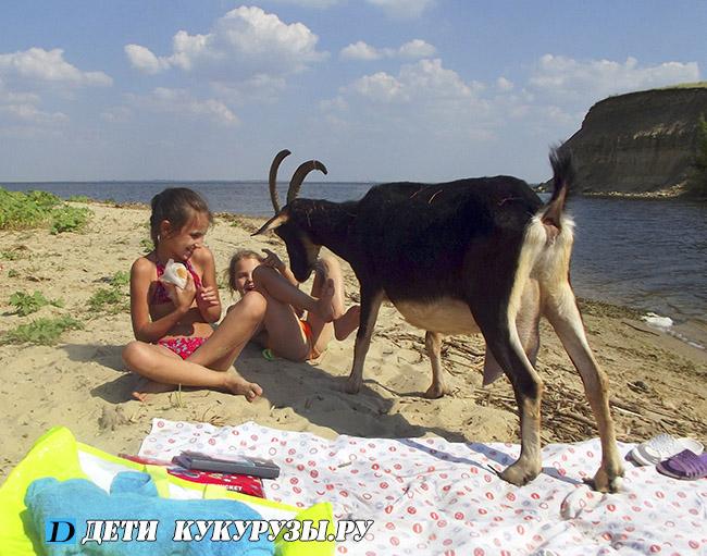 молочные чёрные козы