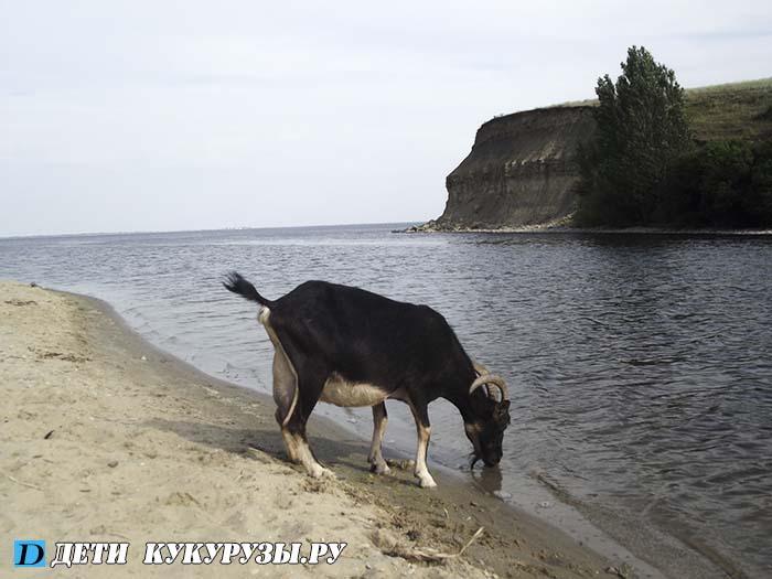 чёрные козы молочные