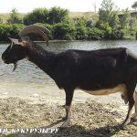 чёрные козы молочные альпийские